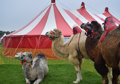 Camels at Showmans Show 2017